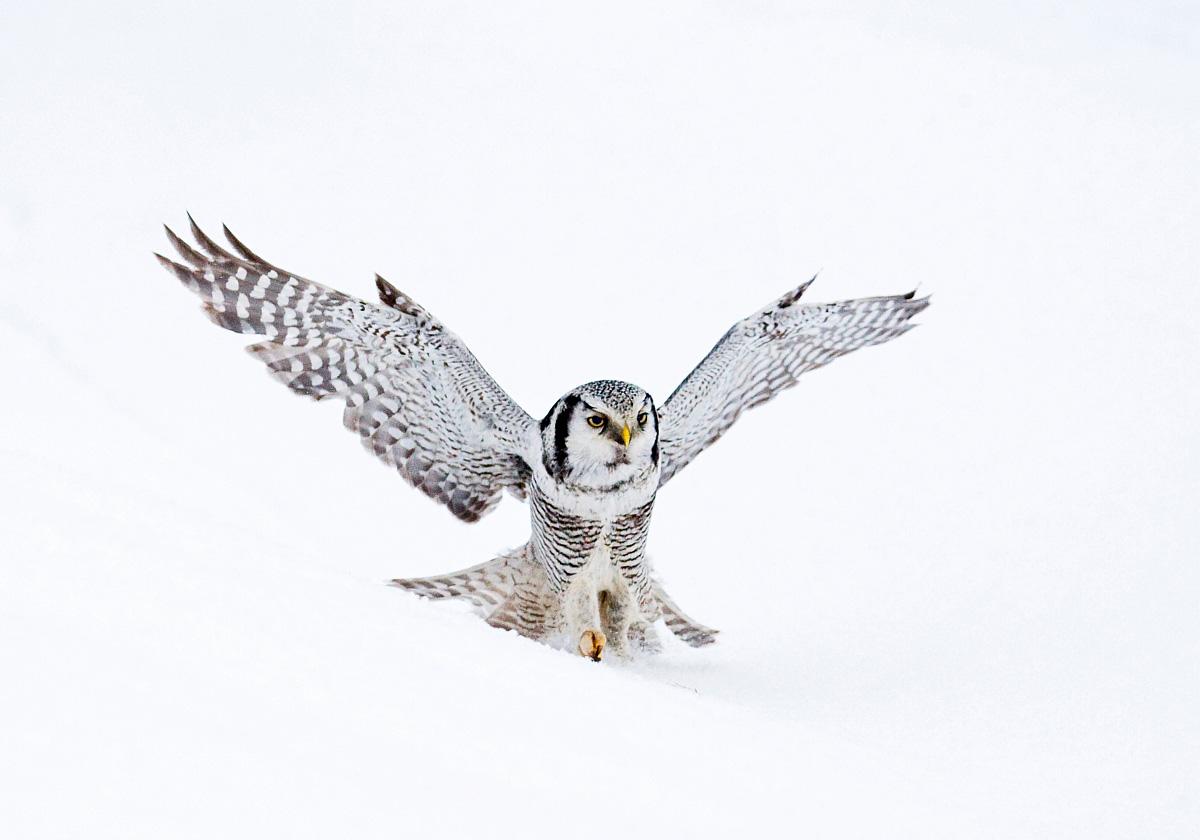 Northern Hawk Owl, Marc Guyt / www.agami.nl