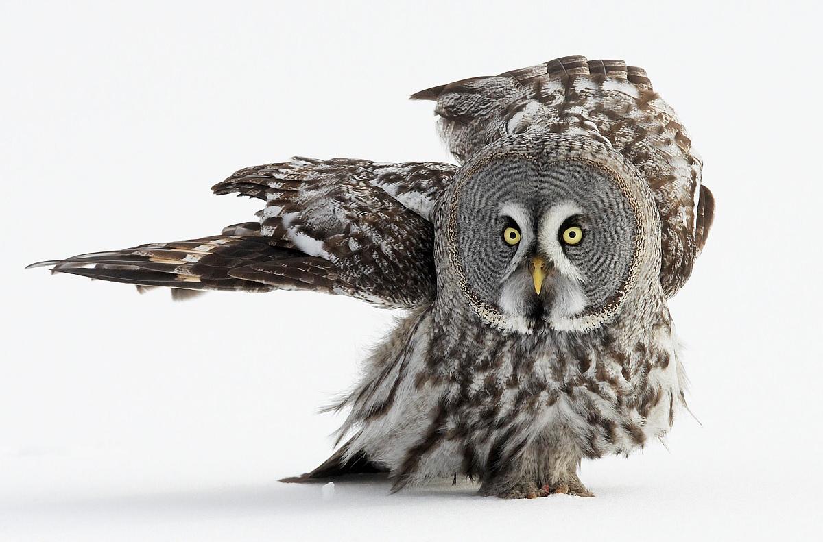 Great Grey Owl, Markus Varesvuo / www.agami.nl