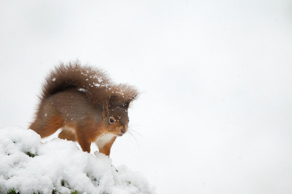 Red Squirrel, Danny Green / www.agami.nl