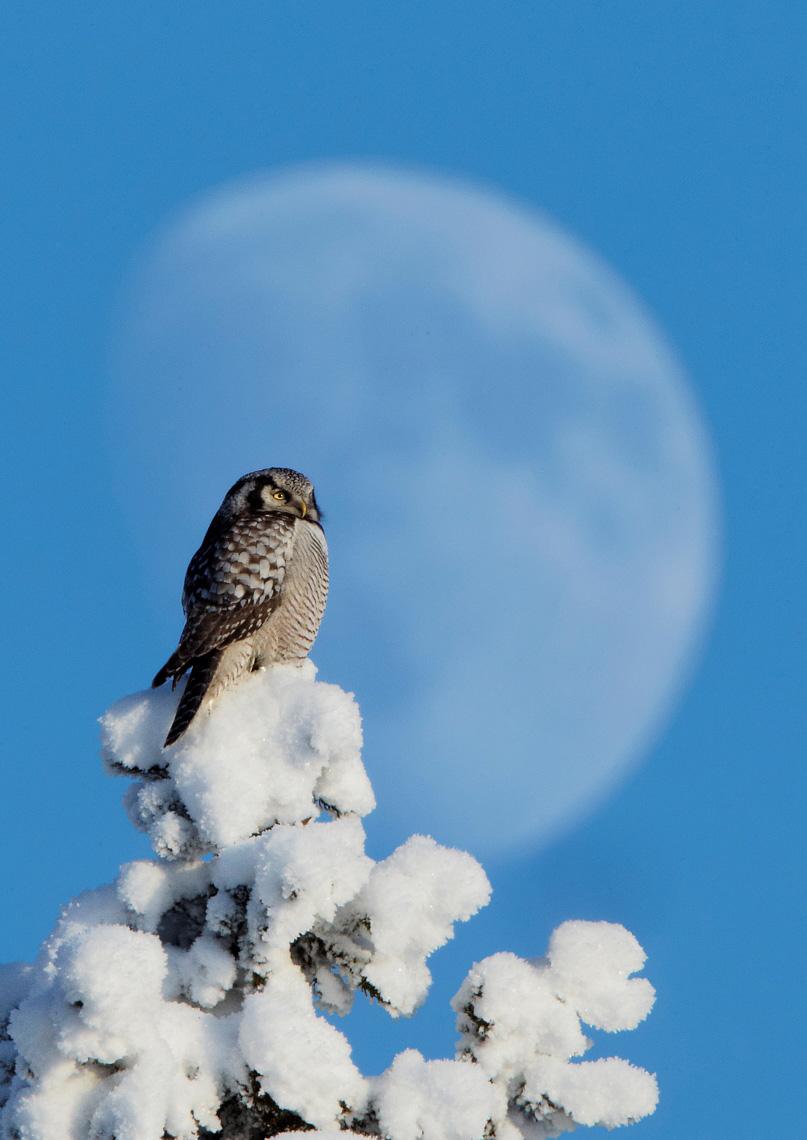 Northern Hawk Owl, Markus Varesvuo / www.agami.nl