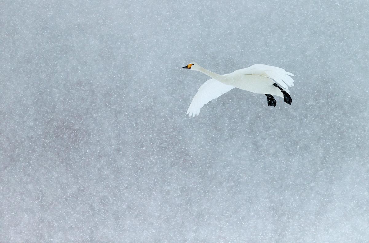 Whooper Swan, Markus Varesvuo / www.agami.nl