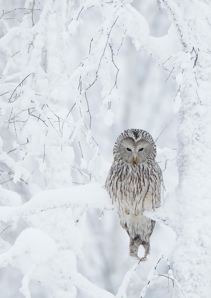 Ural Owl, Markus Varesvuo / www.agami.nl