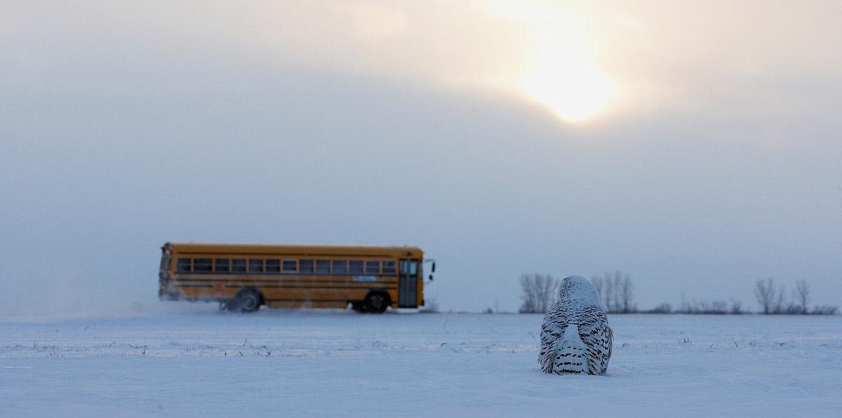 Snowy Owl, Markus Varesvuo / AGAMI