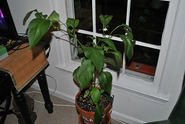 Jalapeno Plant