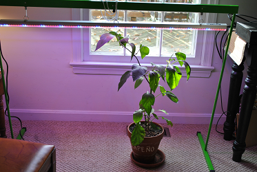 Jalapeno Under LED