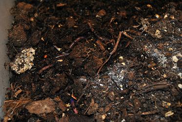 Worms In Worm Bin