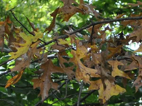 Leaf Mulch