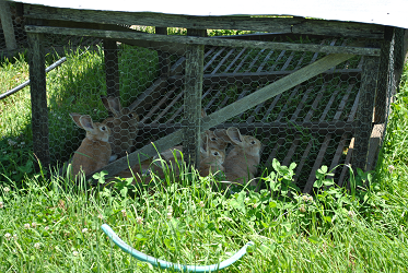 Pastured Rabbits