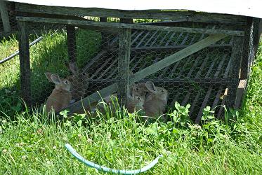 Pastured Rabbits