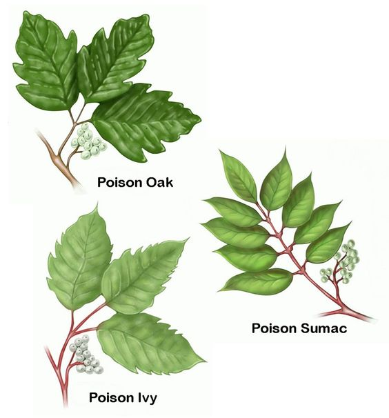 Poison Ivy Chart
