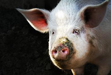 Apocapypse Pig