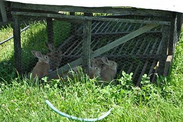 Rabbits Grazing