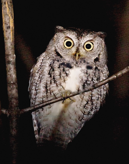 Easter Screech Owl file photo by Paul Armstrong