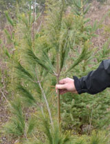 Trees sequester carbon - help to adapt and mitigate changes in climate