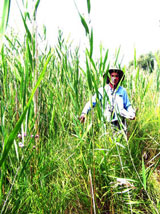 Ontario Great Lakes Guardian Community Fund to help Port Franks fight invasive weed Phragmites