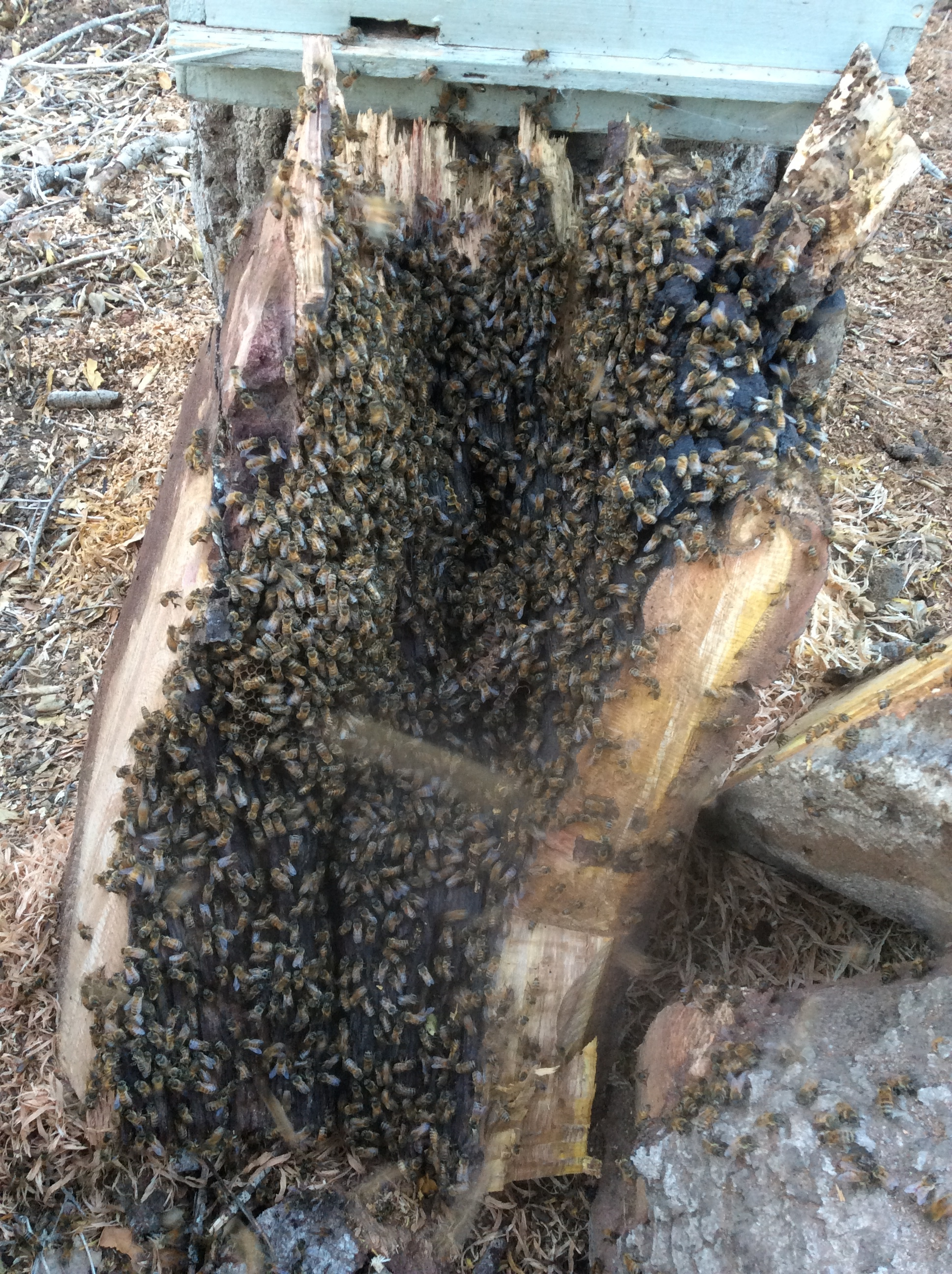 Bees in a log hive