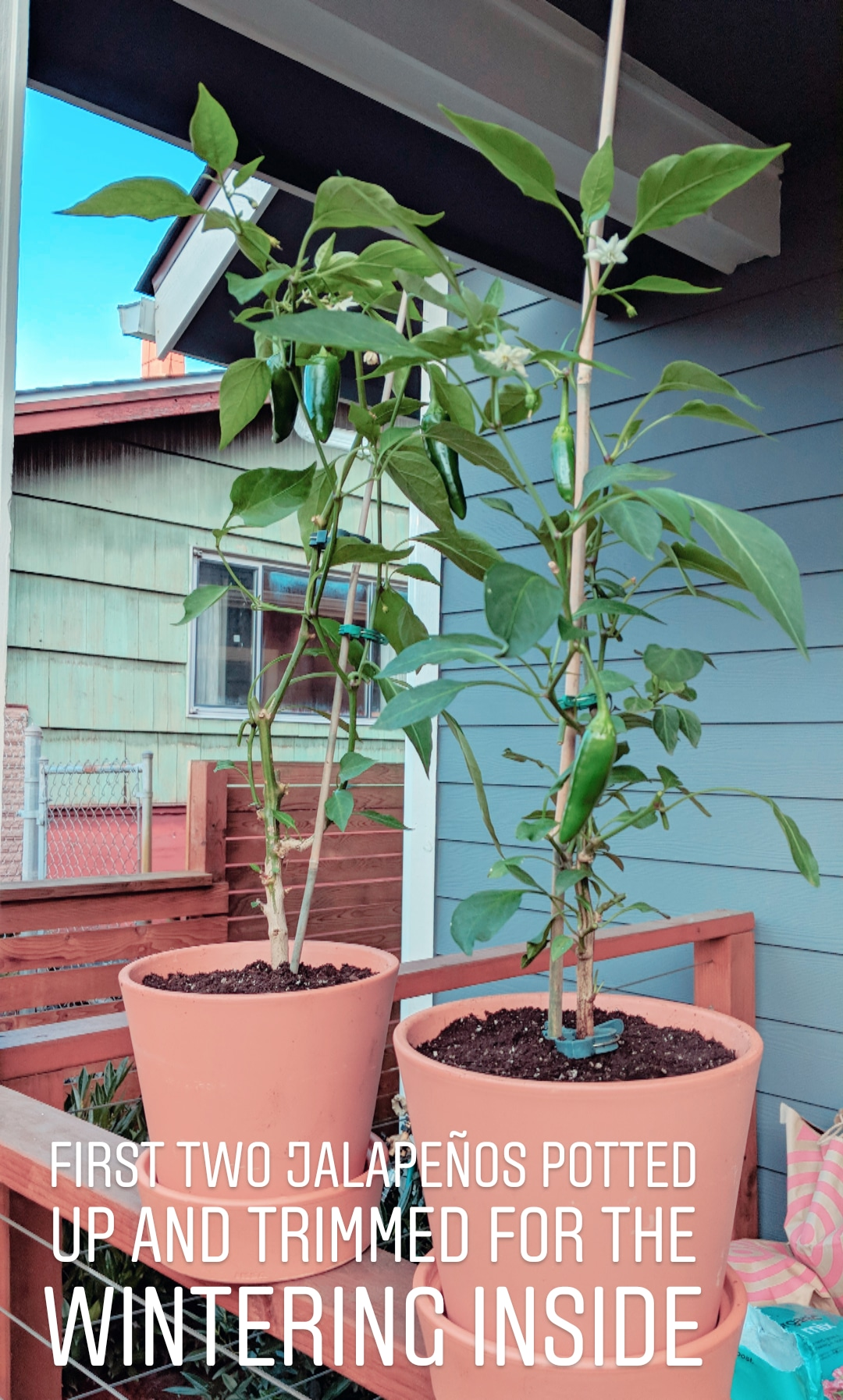 First two jalapenos potted up and trimmed for wintering inside