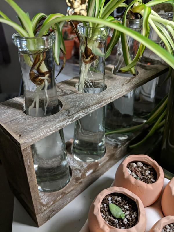 Propogation with spider plants & succulents