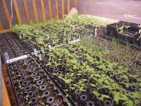Tranplants at Root N Roost Farm