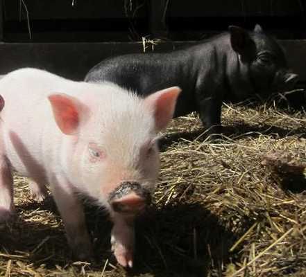 Piglets - Root n Roost Farm