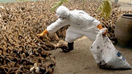 Grippe aviaire dans des élevages foie gras en France: une catastrophe pour les animaux et pour les humains? 64f578e5-ba0b-4279-9f75-b44e5f61522e