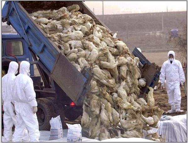Grippe aviaire dans des élevages foie gras en France: une catastrophe pour les animaux et pour les humains? 786c5b83-6017-4422-a69c-ed86654777cc