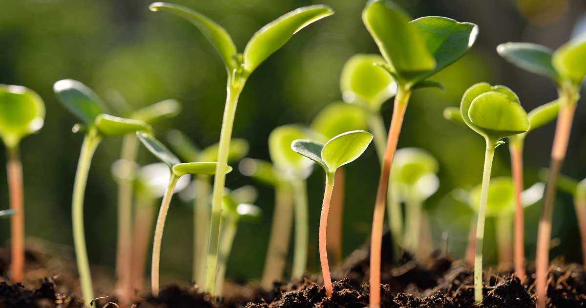 Iboga Plant