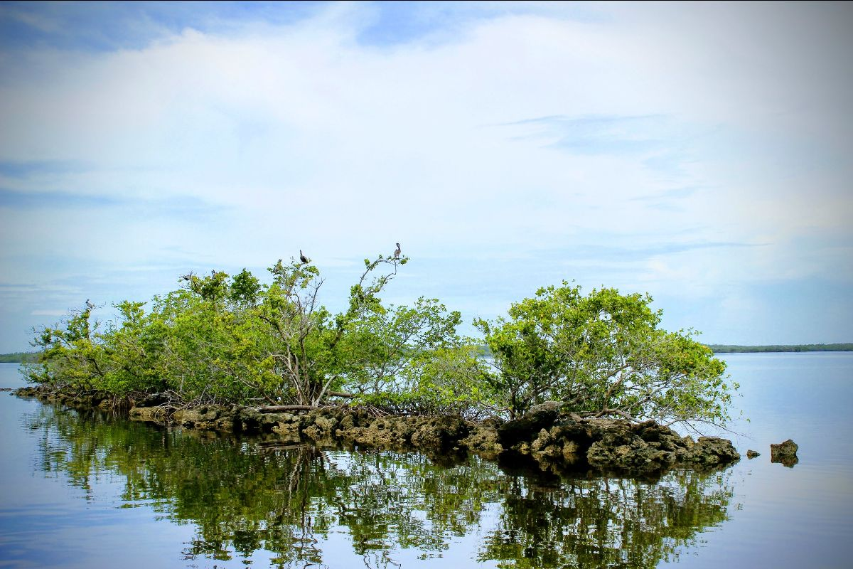 Brown Pelicans on Mangrove Island Gulf Coast, NPS Photo by C. Rivas