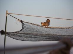 Prairie chicken on a trap. Photo Lance McNew.