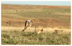 Lesser Prairie-chicken booming. Photo by Torre Hovick