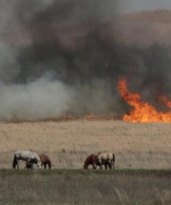 Horses graze near a Flint Hills prescribed fire