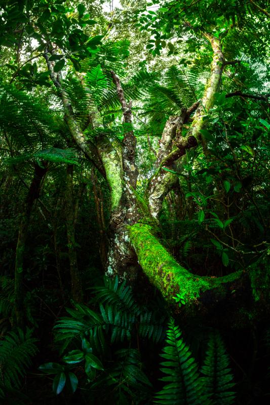 Le bois de mahot