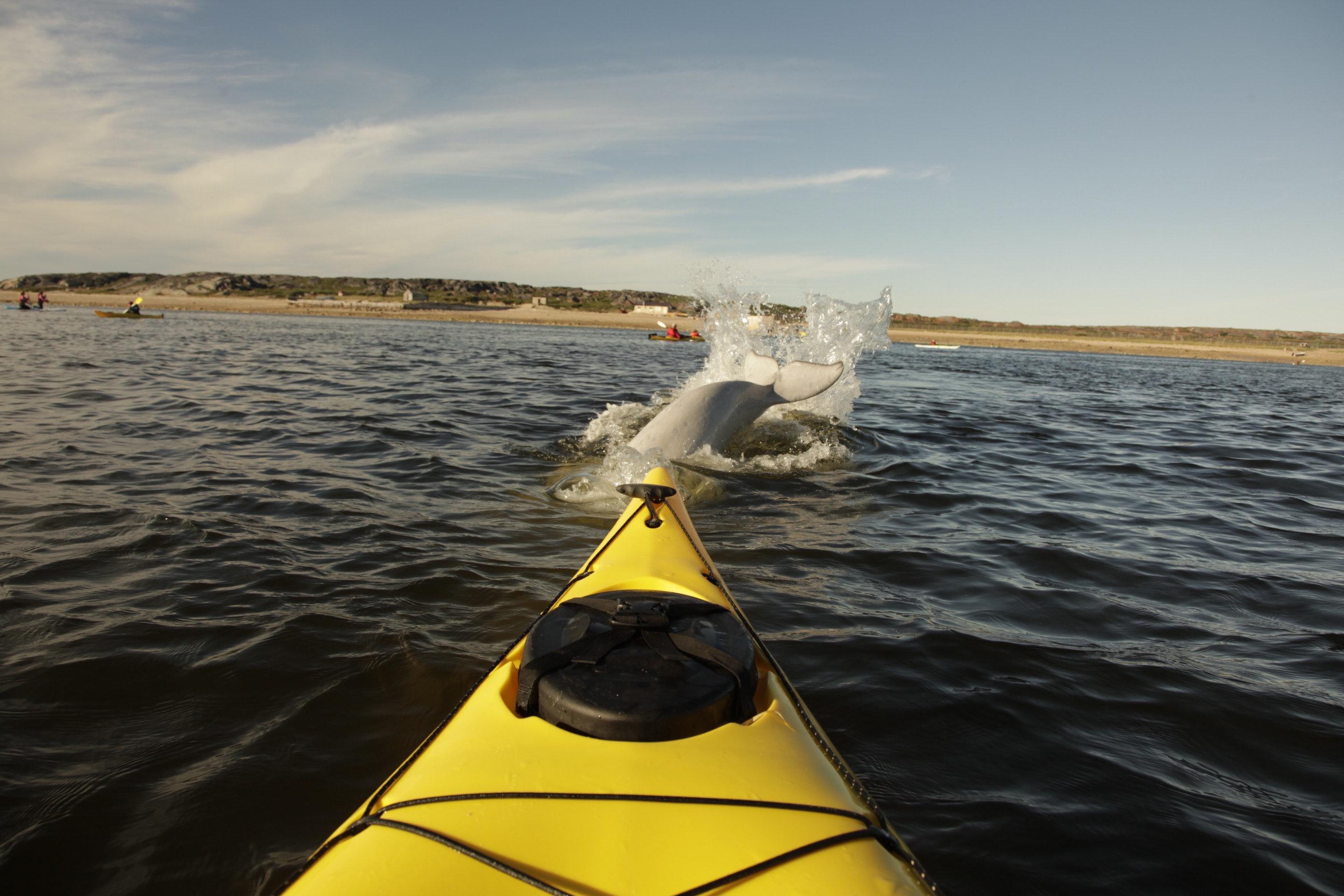 Beluga dive