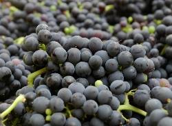 Marechal Foch Grapes