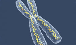 Image of an X chromosome. Chromosomes are thread-like structures that carry hereditary information in DNA. The X chromosome is one of two sex chromosomes in the genome that determine the sex of an individual