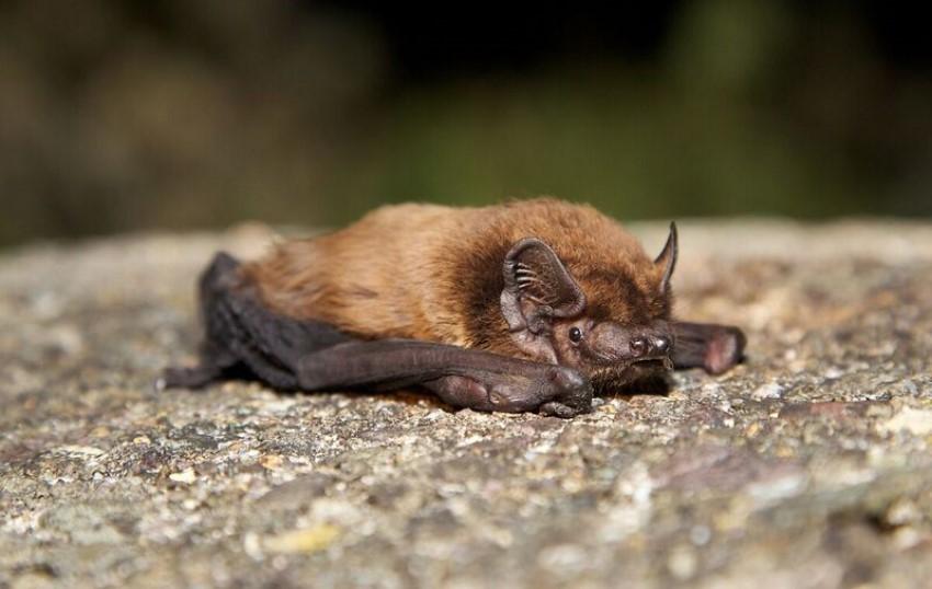 Leisler's bat - copyright Mark Carmody