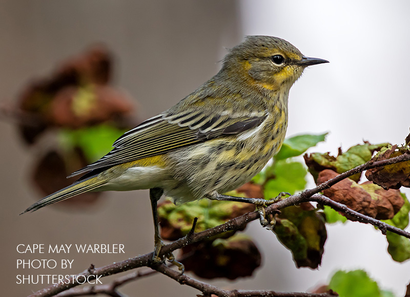 Cape May Warbler in Fall Plumage