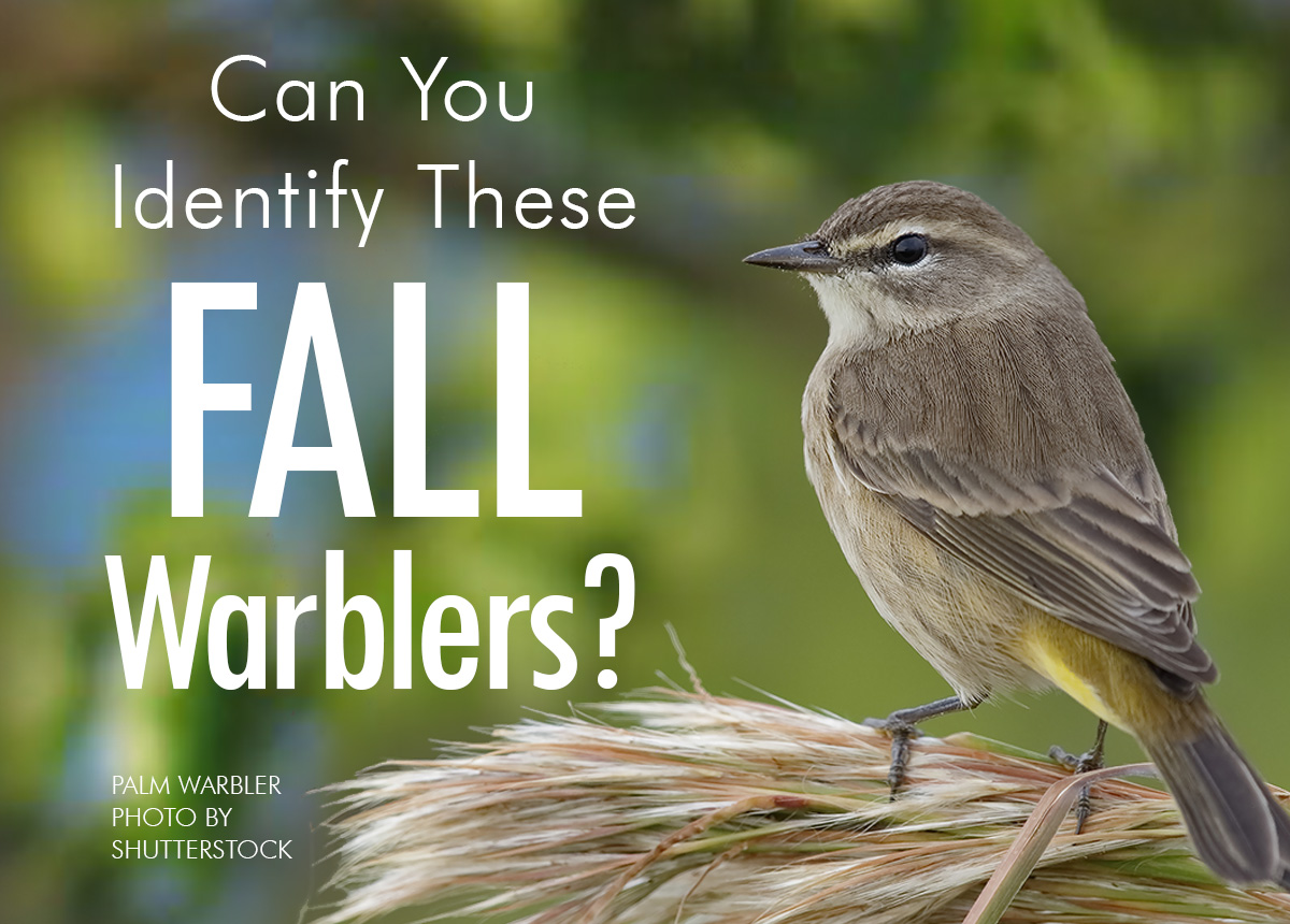 Can You Identify These Fall Warblers?