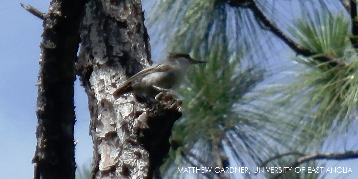 Bahama Nuthatch. Photo by Matthew Gardner, University of East Anglia