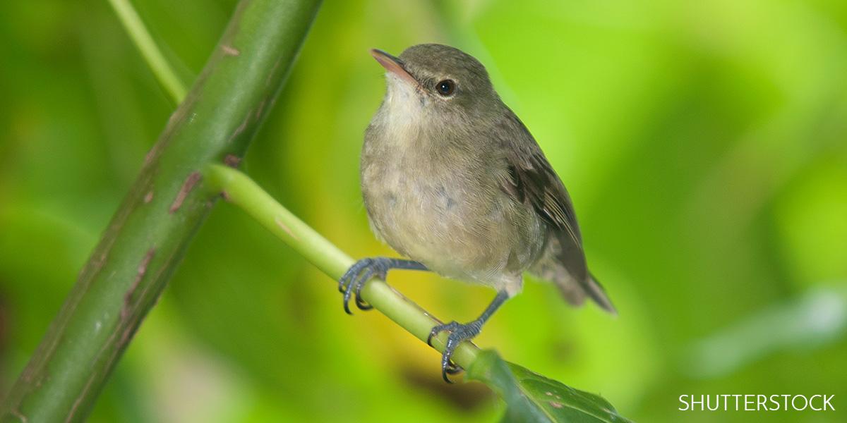 Researchers: Having a Female Nest Helper Slows Mom Warbler's Aging