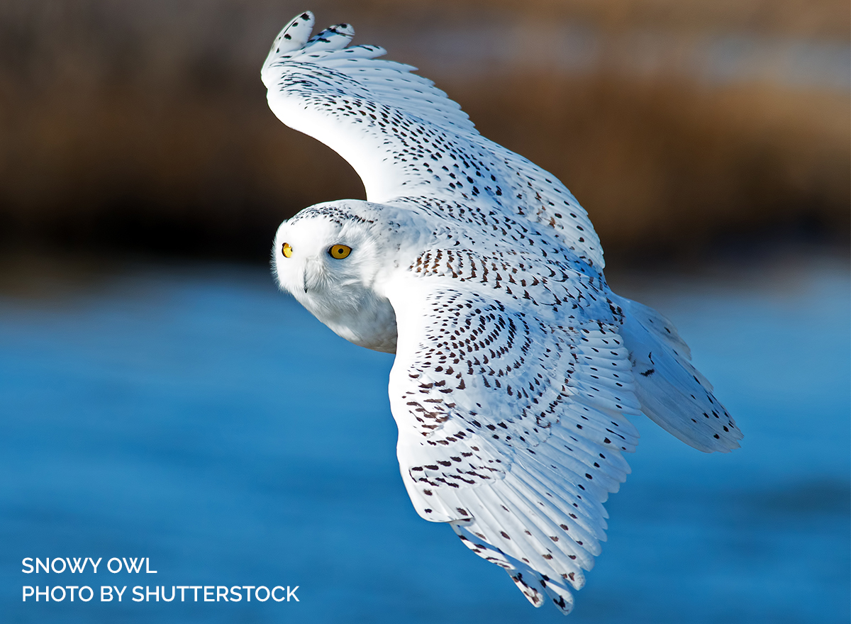 Is There a Snowy Owl in Your New Year's Resolutions?