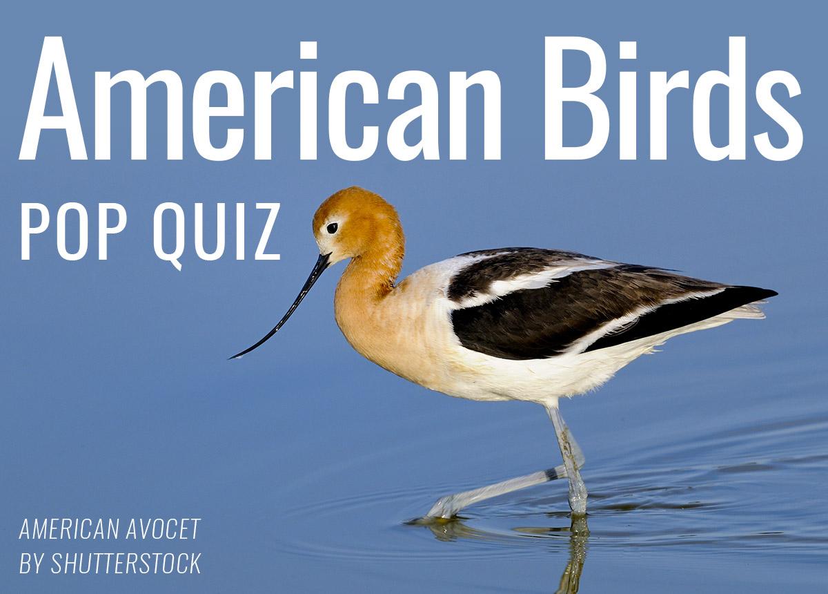 American Birds Pop Quiz