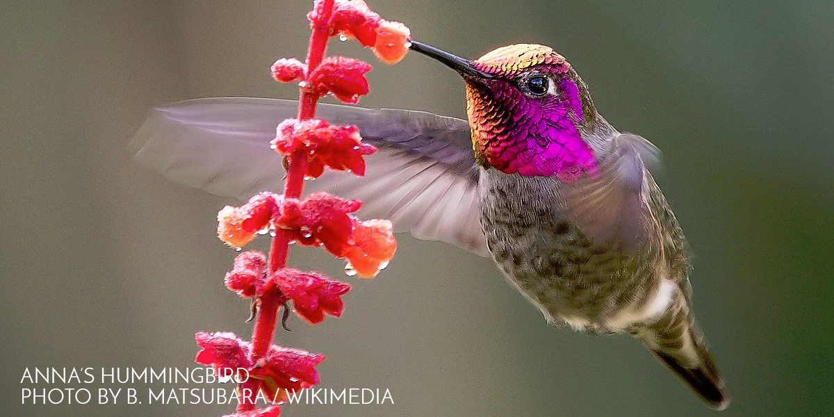 Nanotechnology Allows Study of Hummingbird Behavior