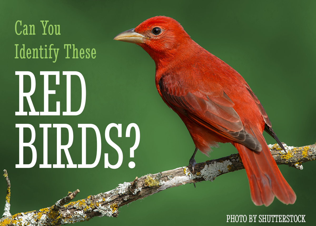 BirdWire: What Are the Reddest Birds in North America?