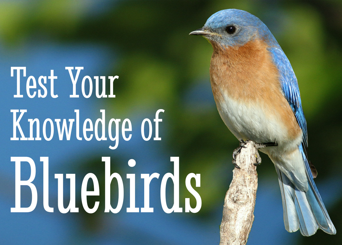 Test Your Knowledge of Bluebirds