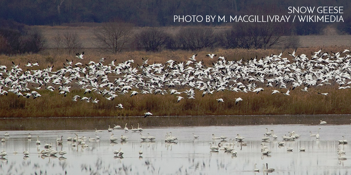 Snow Geese. Photo by M. MacGillivray / Wikimedia