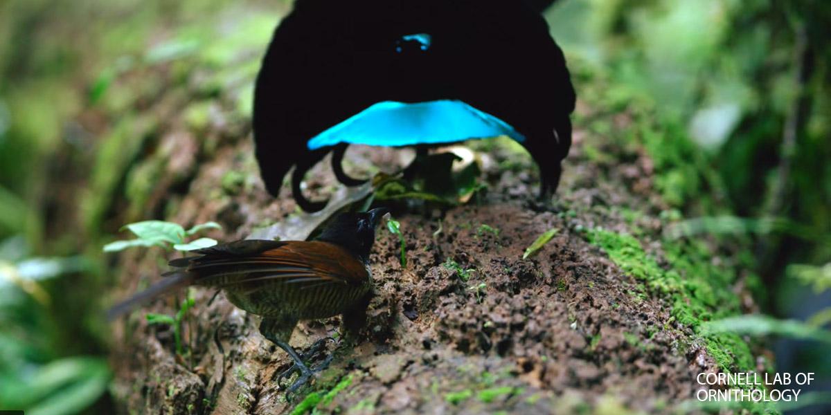 Superb Bird of Paradise / Cornell Lab of Ornithology