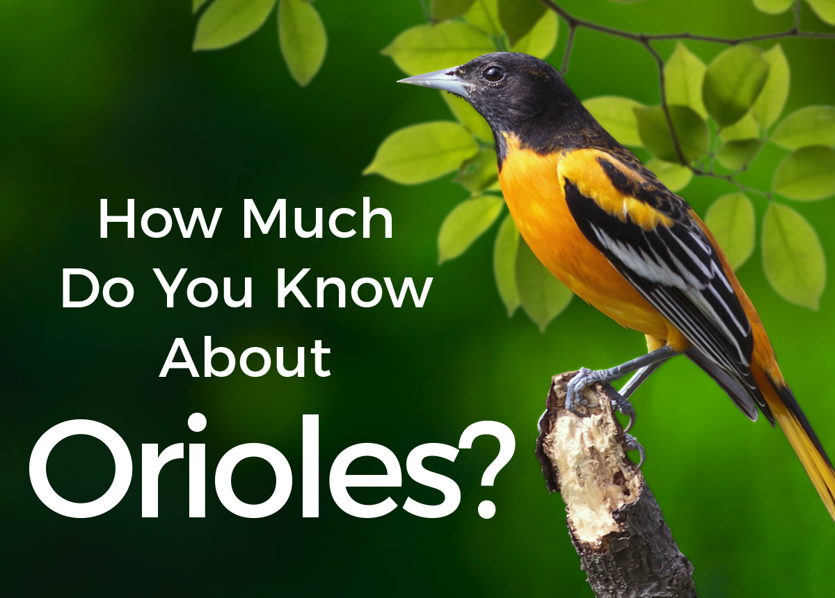 How Much Do You Know About Orioles?