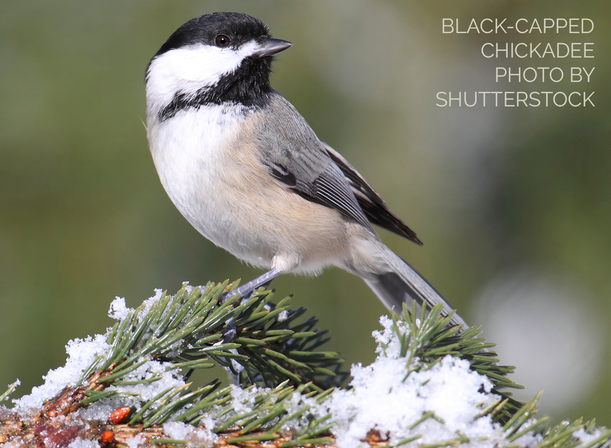 Did You Know? Chickadees Have a Remarkable Memory