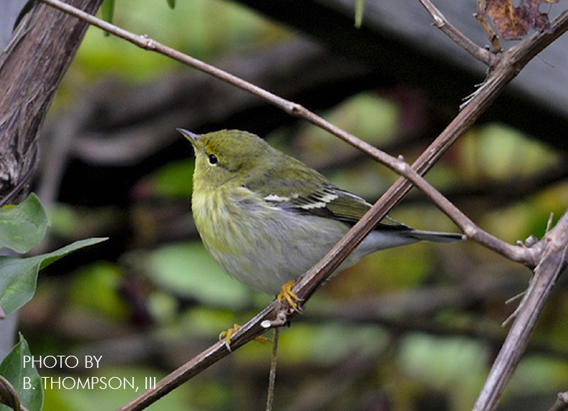 Question #2: Which of the following warblers has wing bars? Click for the answer.
